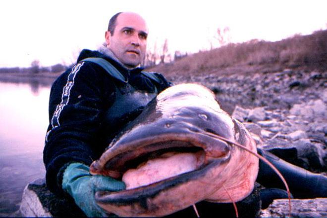 Un esemplare di pesce siluro