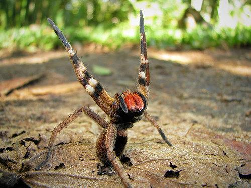 Phoneutria nigriventer, il ragno vagante brasiliano, nella sua tipica posa di presa di posizione