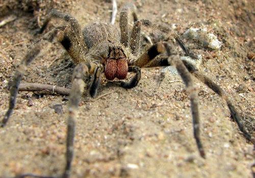 Phoneutria nigriventer, il ragno vagante brasiliano, si pu� nascondere in numerosi luoghi